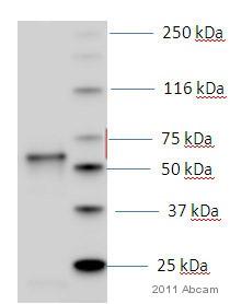 Western blot - Anti-cPLA2 beta antibody (ab53421)