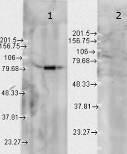 Western blot - Hsp90 beta antibody [H90-10] (ab53497)