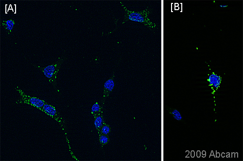 Immunocytochemistry/ Immunofluorescence - A2B5 antibody [105] - Stem Cell Marker (ab53521)