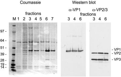 Western blot - SV40 VP2 + VP3 antibody (ab53983)