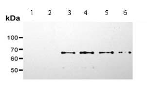 Western blot - SHC (phospho S36) antibody [6E10] (ab54518)