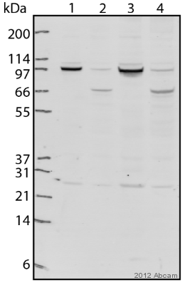 Western blot - Anti-Cellular Apoptosis Susceptibility antibody (ab54674)