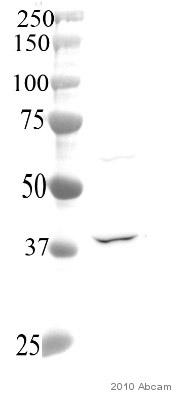 Western blot - Deoxyribonuclease I like 1  antibody (ab54750)