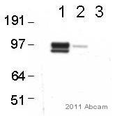 Western blot - Axl antibody (ab54803)