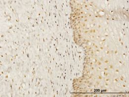 Immunohistochemistry (Formalin/PFA-fixed paraffin-embedded sections)-FKBP52 antibody(ab54991)