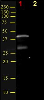 Western blot - HOXA5 antibody (ab55239)
