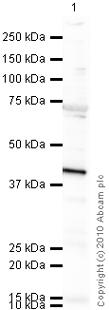 Western blot - HSD3B1 antibody (ab55268)