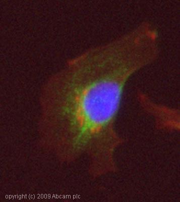 Immunocytochemistry/ Immunofluorescence-SGK1 (phospho S422) antibody(ab55281)