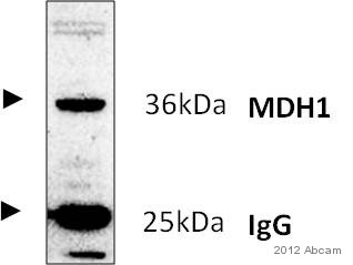 Immunoprecipitation - Anti-MDH1 antibody [2B11-B7] (ab55528)