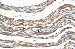 Immunohistochemistry (Formalin/PFA-fixed paraffin-embedded sections)-Anti-Pannexin 2 antibody(ab55917)