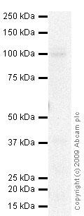 Western blot - Polycystin 2 antibody (ab55947)