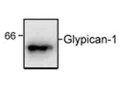 Western blot - Glypican 1/ GPC1 antibody (ab55971)