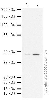 Western blot - S adenosylhomocysteine hydrolase antibody - Aminoterminal end (ab56146)