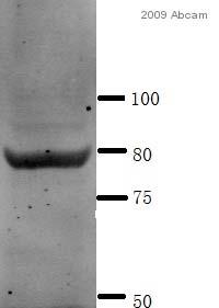 Western blot - LIPG antibody (ab56493)