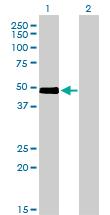Western blot - CRLF1 antibody (ab56500)