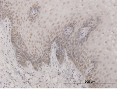 Immunohistochemistry (Formalin/PFA-fixed paraffin-embedded sections) - Anti-SAP30 antibody (ab56527)