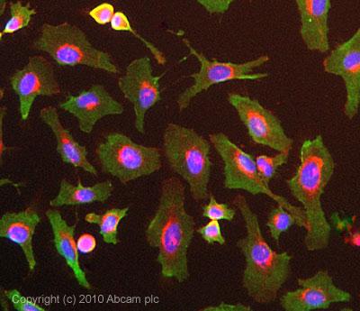 Immunocytochemistry/ Immunofluorescence-glutathione S transferase Omega 1 antibody(ab56550)