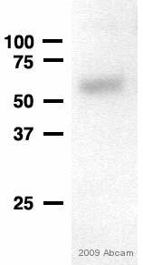 Western blot - SPAG6 antibody (ab56778)