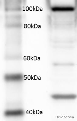Western blot - Anti-RALBP1 antibody (ab56815)