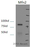 Western blot - Anti-Mitofusin 2 antibody (ab56889)