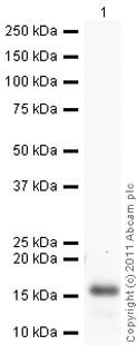 Western blot - Anti-Ghrelin antibody (ab57222)
