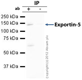 Immunoprecipitation - Anti-Exportin-5 antibody (ab57491)