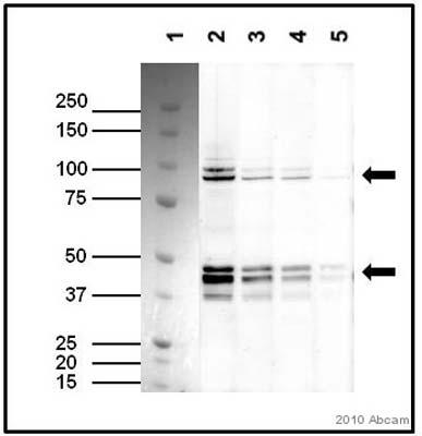 Western blot - TAF7 antibody (ab57494)