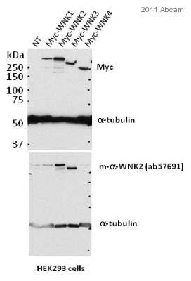 Western blot - WNK2 antibody (ab57691)