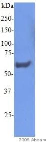Western blot - Zyxin antibody (ab58210)