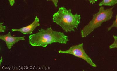 Immunocytochemistry/ Immunofluorescence-Zyxin antibody(ab58210)