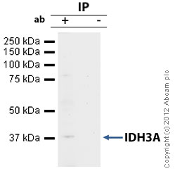 Immunoprecipitation - Anti-IDH3A antibody (ab58641)