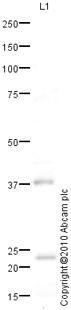 Western blot - Gas1 antibody (ab58653)