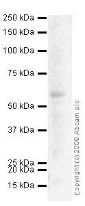 Western blot - SLC40A1 antibody (ab58695)