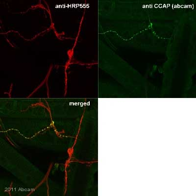 - Anti-Cardioactive Peptide antibody (ab58736)