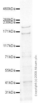 Western blot - Anti-Trichohyalin antibody [AE15] (ab58755)