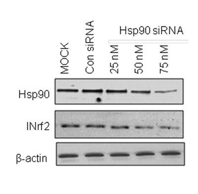 Western blot - Hsp90 antibody [H90-10] (ab58950)