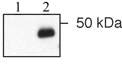 Western blot - IER5 antibody (ab59133)
