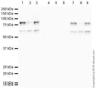 Western blot - Chk1 (phospho S317) antibody (ab59239)