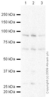Western blot - S6K antibody (ab59246)