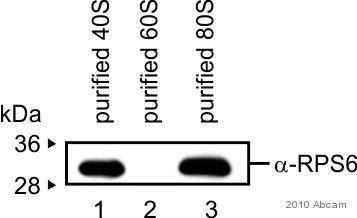 Western blot - RPS6 antibody (ab59261)