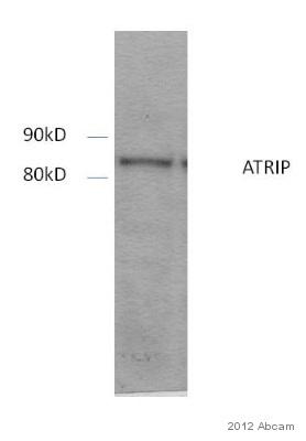 Western blot - Anti-ATRIP antibody (ab59346)