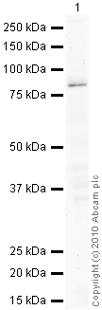 Western blot - PKC (phospho T497) antibody (ab59411)