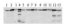 Western blot - Hsp60 antibody [LK-1] (ab59457)