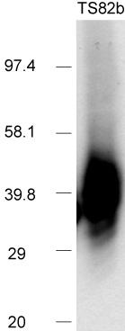 Western blot - Anti-CD82 antibody [TS82b] - Azide free (ab59509)
