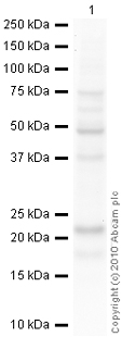 Western blot - Peroxiredoxin 2 antibody (ab59539)