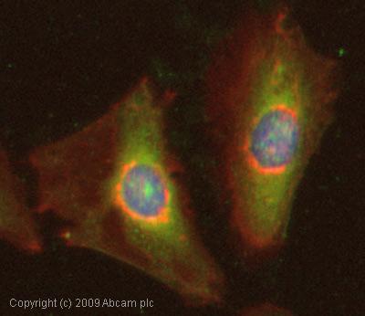 Immunocytochemistry/ Immunofluorescence - Peroxiredoxin 6 antibody (ab59543)