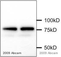 Western blot - APPL  antibody (ab59592)