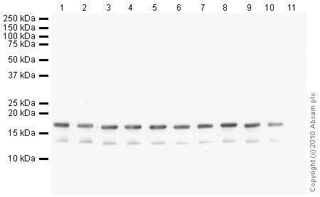 Western blot - Histone H3 (tri methyl K27) antibody [mAbcam 6002] - ChIP Grade (ab6002)