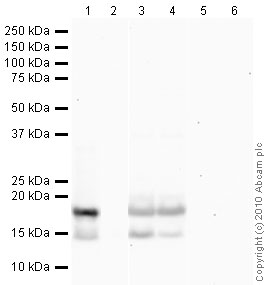 Western blot - Histone H3 (tri methyl K27) antibody [mAbcam 6002] - ChIP Grade (ab6002)