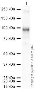 Western blot - Anti-SP1 antibody (ab6082)